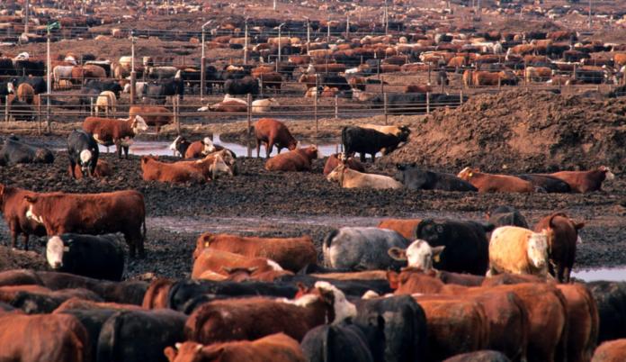 Industrial Cattle Farming